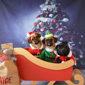 Sleigh with pugs